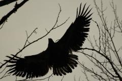 pacific-eagle4