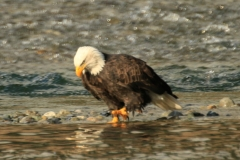 pacific-eagle5