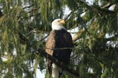 pacific-eagle8