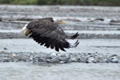 juvenile-eagle