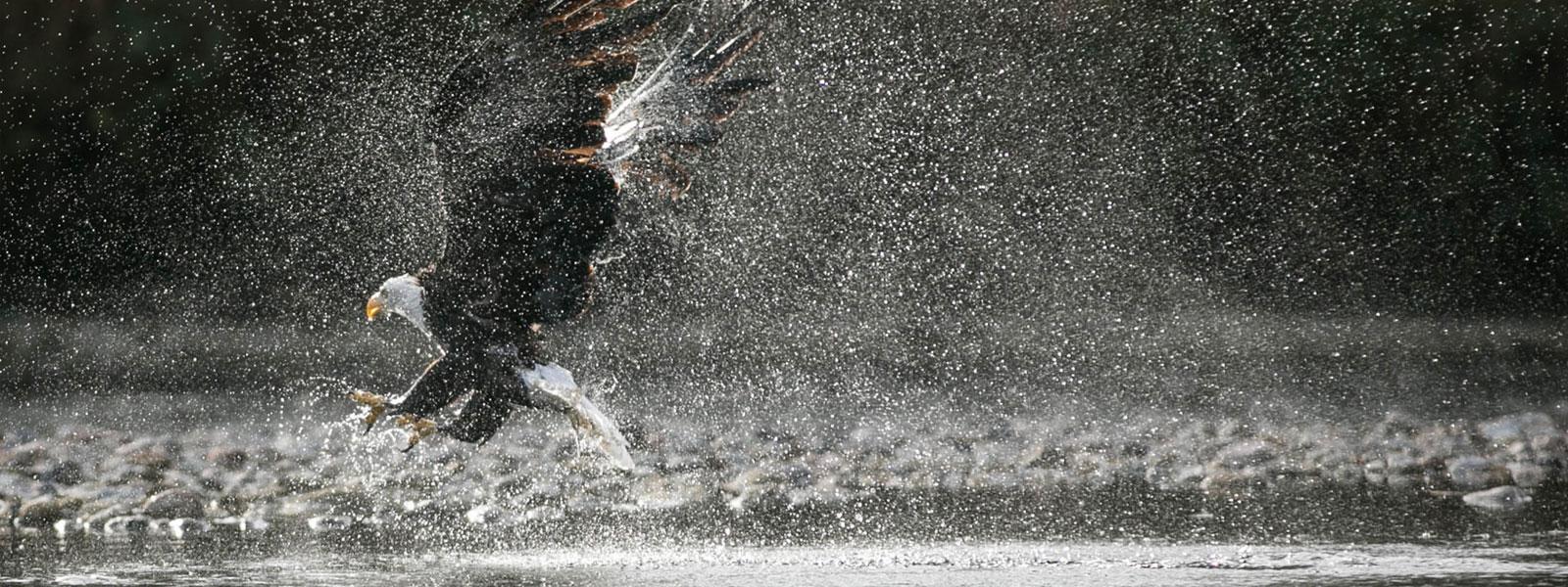 skagit eagle
